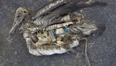 uccelli marini morti